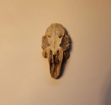 Pearl in skull